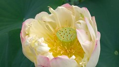 Kansai (timandhissg) Tags: camera flower macro beautiful beauty japan nokia vibrant kansai 1020 uji nihon hasu lumia