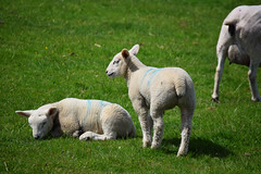 Fun on the farm (emmajanerigby) Tags: nature animal animals season photography spring nikon babies sheep outdoor farm wildlife lamb lambs livestock sthelens farmanimals naturesbabies d3300