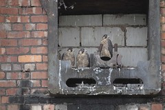 Three (4foot2) Tags: baby mill manchester babies nest explore stockport falcon chicks rare birdofprey peregrine protected peregrinefalcon 2015 falcoperegrinus greatermanchester bredbury explored pearmill 200mph nestsite fastestbird 4foot2 4foot2flickr 4foot2photostream fourfoottwo cottenspinningmill