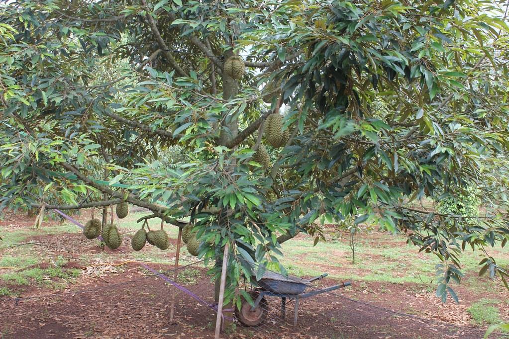 2Vườn trái cây Cù Lao Dài