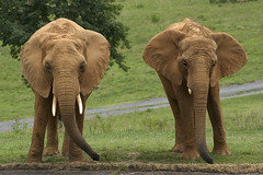two of a kind (ucumari photography) Tags: elephant animal mammal zoo nc african north pachyderm july carolina 205 ucumariphotography dsc9304