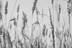 (kuuan) Tags: olympusfzuikoautotf285mm manualfocus mf olympus zuiko fzuiko 85mm f2 f285mm field bw grains austria