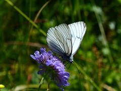 Aporia crataegi - Black-veined White (Simon Melville) Tags: blackveinedwhite aporiacrataegi aporia crataegi