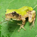 Gray Treefrog, Metamorph