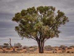 Gidgee tree