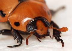 22 mm grapevine beetle (ophis) Tags: coleoptera scarabaeidae rutelinae grapevinebeetle pelidnotapunctata pelidnota polyphaga scarabaeoidea rutelini