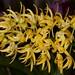 Den. speciosum grandiflorum – Anita Spencer