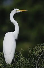 Juvenile Great Egret (Mark Schwall) Tags: birds newjersey nikon nj perched juvenile manualfocus greategret ardeaalba southernnewjersey wadingbirds d300s nikkor600mmf4ais
