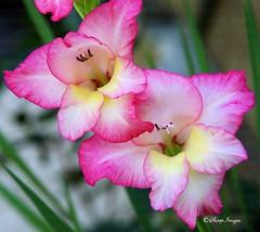 Gladiola-2 (sh10453) Tags: pink flowers usa garden gardening michigan gladiola oakpark pinkflowers gladies