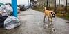 El Abandono 17 (Alejandro...) Tags: perro abandonado basura callejero ensayo
