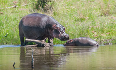 Go out immediately!!! You have been too long in the water!!! (Renzo Ottaviano) Tags: pilanesbergnationalpark provinciadelnordovest sudafrica south africa renzo lorenzo ottaviano hippo