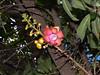 Kanonenkugelbaum (Eerika Schulz) Tags: thailand wat sri mung mueang kanonenkugelbaum cannonball tree couroupita guianensis