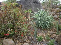 Alluaudia,Euphorbia,Aloe et Crassula (Pankreator) Tags: alluaudia euphorbia rocaille aloe