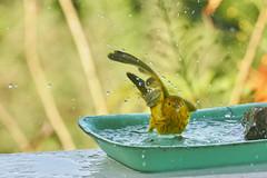 Yellow Warbler (ronmcmanus1) Tags: antigua bird nature outdoors wildlife jollyharbour stmarysparish antiguabarbuda