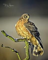 Female Northern Harrier Hawk (Hawg Wild Photography) Tags: northernharrier northernharrierhawk raptor raptors bird of prey birds wildlife nature animal animals nikon nikon600mmvr d810 terrygreen hawg wild photography