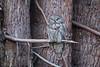 Great Grey Owl (mallardg500) Tags: ggo owls greatgreyowl mallardg500 raptors elk humboldtcounty arcata phoochan