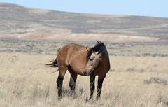 Remembering When... (A Wild Western Heart) Tags: mccullough peaks wild horses keepwildhorseswild bukskin western wyoming wy