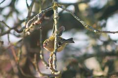 Roitelet huppé (Mariie76) Tags: animaux oiseaux passereaux roitelet huppé tout petit mignon bande jaune et noire arbre hiver branches rapide regulus