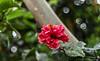 Live Simply. Bloom Wildly. (Ramalakshmi Rajan) Tags: quotes flowers flower hibiscus 50mm nikkor50mm nikond750 d750 red inmygarden
