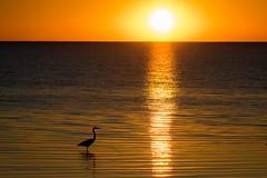 Sunset Bird (gseloff) Tags: greatblueheron bird wildlife sunset water anahuacnationalwildliferefuge nwr chamberscounty texas gseloff
