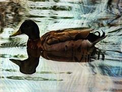 Duck Textures (Steve Taylor (Photography)) Tags: bird duck art digital nz newzealand southisland canterbury christchurch hagleypark lake water ripple texture