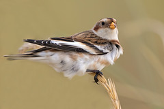Snow Bunting (coopsphotomad) Tags: snowbunting bird animal wildlife nature sea shore sand grass seed dunes