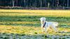 Charlie 38 weeks old (Mark Rainbird) Tags: dog powershots100 puppy canon retriever ufton uk uftonnervet england unitedkingdom gb