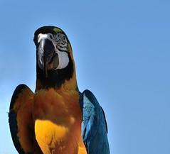 Ara (Mystycat =^..^=) Tags: oiseau perroquet parrot ara france donjondesaigles châteaudebeaucens beaucens pyrénées midipyrénées hautespyrénées macaw