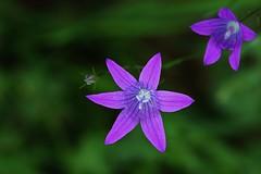 Wild Flower (Hugo von Schreck) Tags: hugovonschreck flower blume blüte wildflower wildblume macro makro outdoor canoneos5dsr tamron28300mmf3563divcpzda010