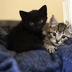 Daisy and Luna (Sair Jane) Tags: canon cats kittens felines cute fluffy luna daisy bengalcross blackkitten tabbykitten kitlers