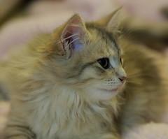 Siberian princess (il goldcat) Tags: goldcat gatti cats siberiani siberian micini gattini
