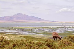 Atacama Desert (leeeelaine) Tags: reservanacionallosflamencos salardetara sanpedrodeatacama chile flamingo flamenco llama