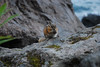 DSC_6995.jpg (ManuelSilveira) Tags: chipmunk esquilo fauna mamiferos