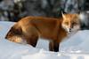 (sgtsalamander) Tags: nikon nikkor d500 300f28 algonquinpark winter snow redfox vulpesvulpes sprucebogtrail