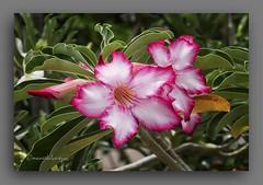 ADENIOS. (manxelalvarez) Tags: adenios adeniumobesum rosasdodeserto flores flora floresrojas