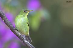 Green Honeycreeper (Chlorophanes spiza) - Tapiraí-SP