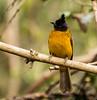 IMG_1754  Black-crested Bulbul (ashahmtl) Tags: blackcrestedbulbul bulbul pycnonotusmelanicterus kaengkrachannationalpark phetchaburiprovince thailand