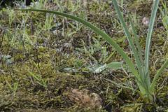 Rugiadose foglie di Asfodelo, in attesa del fiore (Dei's Light) Tags: italy sardegna sulcis bosco asfodelo fiore flora inverno rugiada goccia foglia