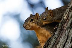I Have A Secret_20A7618 (Alfred J. Lockwood Photography) Tags: alfredjlockwood nature wildlife squirrel foxsquirrel bokeh morning autumn bearcreekpark keller texas