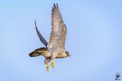 ''Peregrine in flight'' (marcbryans) Tags: portlanddorset portlandbill peregrines raptors birdsofprey nikond7100 nikkor200500mmf56e