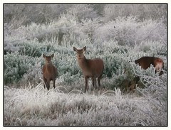 On my morning walk (Audrey A Jackson) Tags: panasonicdmctz3 deer animals nature chasewater bracken frost icy 1001nightsmagiccity