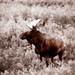 Moose in the brush