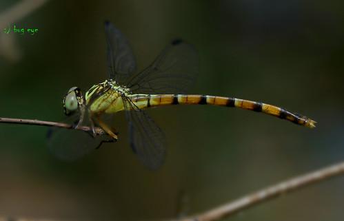 แมลงปอเสือหางเหลือง / Phaenandrogomphus asthenes