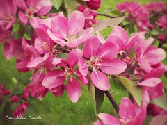 2015-06-10-15-10-35_deco (liisamaria.linnala) Tags: pink flowers nature phonepic appletree lgg3