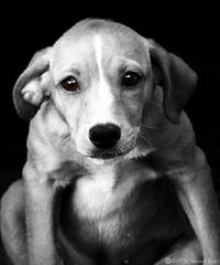 Fearfully (different contrast) (roizroiz) Tags: bw dog pets color dogs beautiful portraits puppy interestingness doggy mascotas selective i500 littledoglaughednoiret