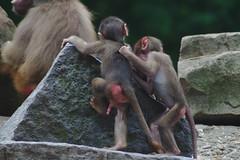 Strijd om de top (Arnold Metselaar) Tags: zoo aap hamadryasbaboon papiohamadryas dierentuin zoogdier dierenparkemmen mantelbaviaan gotfotomeet