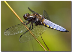 Photo of Broad-bodied Chaser (Libellula depressa)