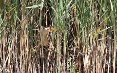 Blongios nain (M) - Blongios nain (Ixobrychus minutus - Little Bittern) - IMG_4784 (6franc6) Tags: réserve scamandre juin 2015 languedoc gard 30 petitecamargue 6franc6 explore canon eos7dmarkii ef100400f4556lisiiusm rare remarquable oiseau héron