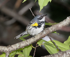Anglų lietuvių žodynas. Žodis myrtle bird reiškia myrtle paukštis lietuviškai.
