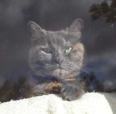 Matilda's grumpy face. (Matilda&Charlie&Josie ~ MCJ) Tags: cat matilda grumpy 9yo greybluecreamtortoiseshell